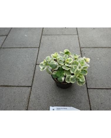 Verpiss-Dich-Pflanze
