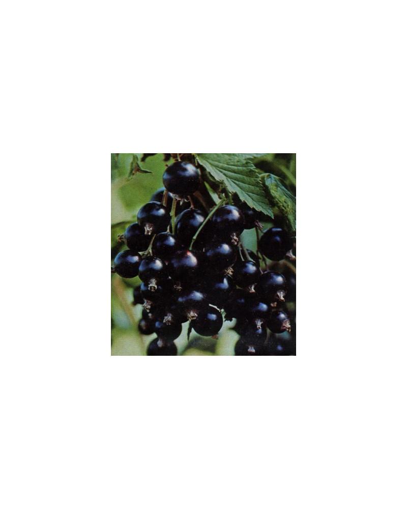 Schwarze Johannisbeere Titania (Cassis)