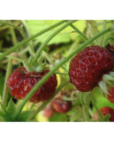 Erdbeere Alexandria