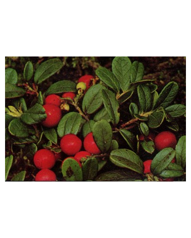 Preiselbeere Cranberry Early Black
