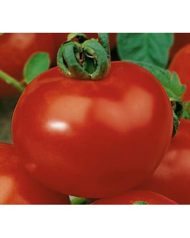 Tomate mittelgrossfrüchtig, Jungpflanze