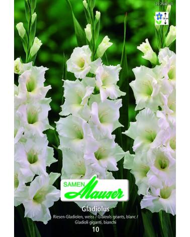 weisse Gladiolen