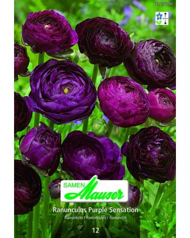 Ranunculus Purple sensation