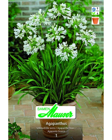 Agapanthus weiss