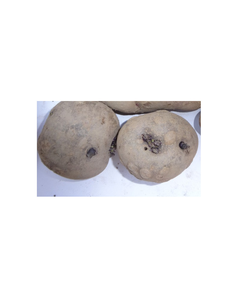 Bergkartoffel Röseler