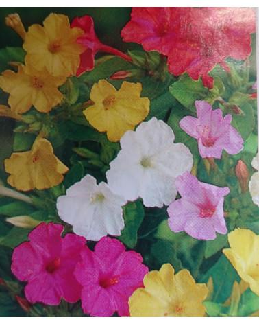 Wunderblume Mirabilis