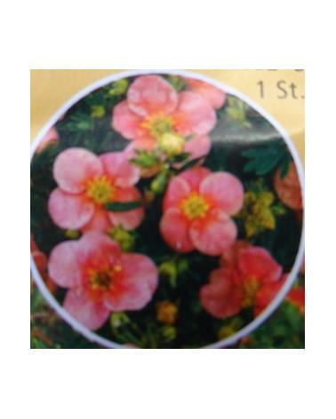 Potentilla fruticosa Pretty Polly, Fingerstrauch rosa