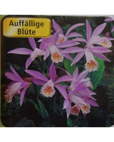 Tibet-Orchidee, Pleione formosana