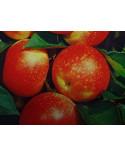 Apfel Discovery Niederstamm