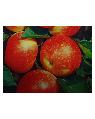 Apfel Discovery