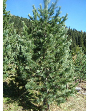 Arve/Zirbelkiefer, Pinus cembra