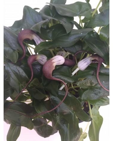 Mäusepflanze, ARisarum proboscideum