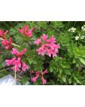 Alpenrose, bewimperte