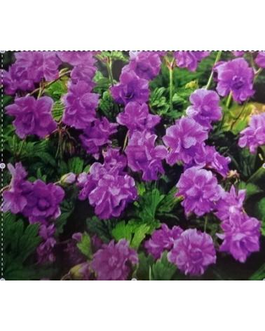 Gefüllter Storchschnabel Geranium himalayense Plenum