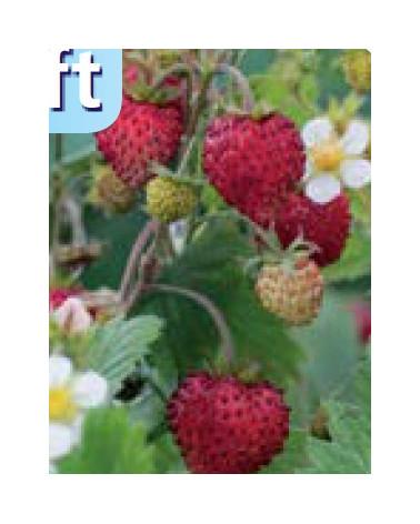 Kokos-Erdbeere