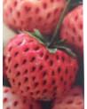 Pfirsicherdbeere