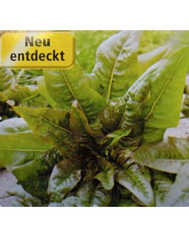 Spargelsalat Jungpflanze