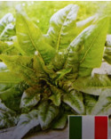 Salat Venezianer, Jungpflanzen