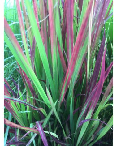 Imperata cylindrica Red Baron, Japanisches Blutgras