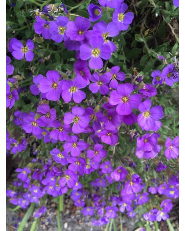 Aubrieta Hybriden Royal Violett, Blaukissen