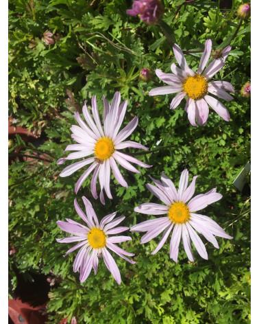 Chrysanthemum weyrichii Ansaina, Kamtschatkamargrite
