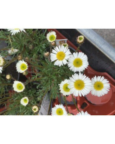 Erigeron florifer, Weisses Berufkraut
