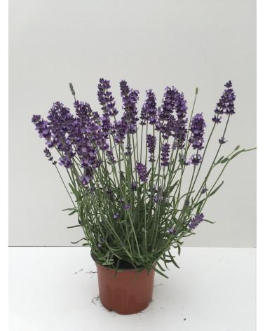 Lavandula angustifolia Hidcote, Lavendel