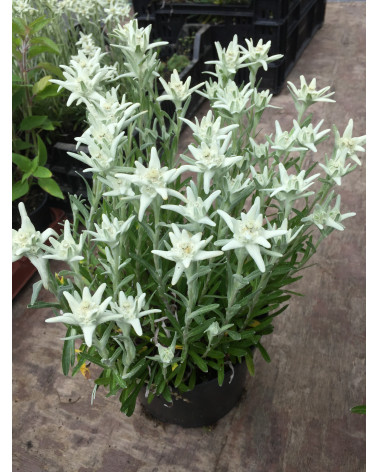 Leontopodium alpinum Edelweiss Typ Filisur