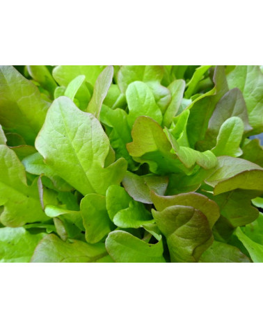 Poschiavo-Salat