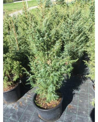 Juniperus communis Wallis