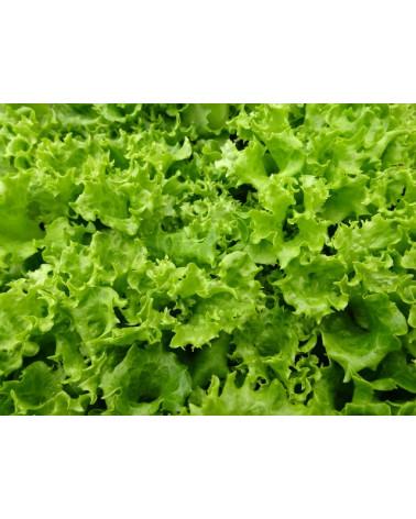 Blattsalat Lollo Bionda, Jungpflanze