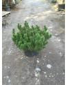 Pinus pumilo