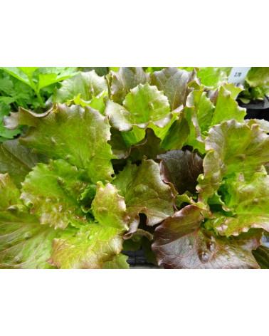 Salat Eisberg rot