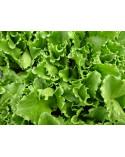 Salat Eisberg grün, Jungpflanze
