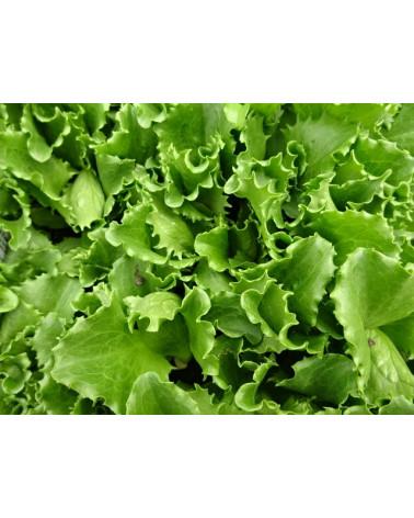 Eisberg grün (Salat)