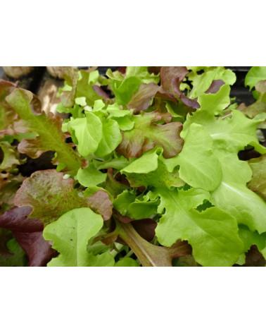 Pflücksalat Confetti, Jungpflanze