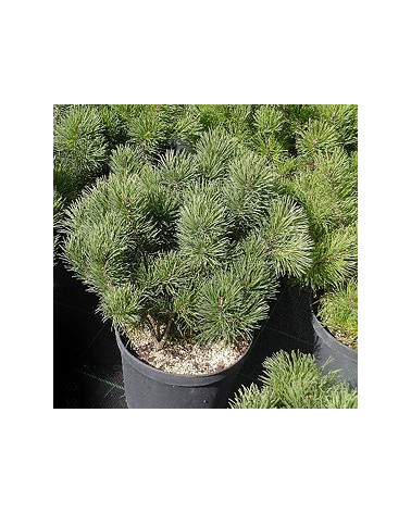 Legföhre, Pinus mugo pumilio