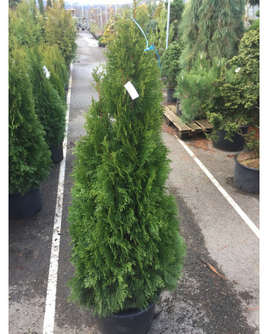 Thuja occidentalis `Smaragd'
