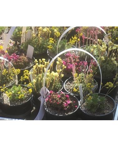 Alpin- und Steingartenpflanzen im 4er Set