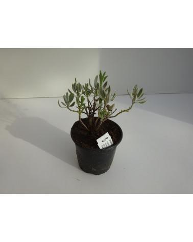 Lavendel-Salbei
