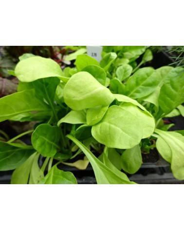 Blattmangold, Jungpflanzen