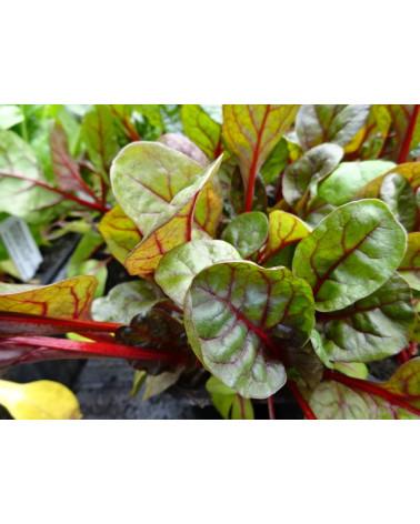 Stielmangold rot, Jungpflanzen