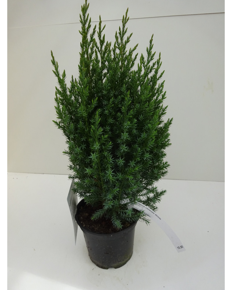 Juniperus chinensis Stricta
