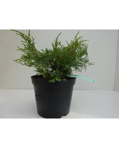 Juniperus pfitzeriana