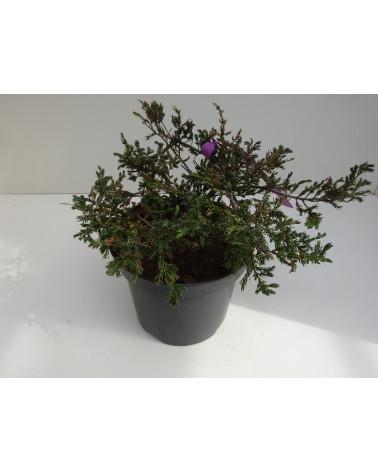 Juniperus communis green carpet