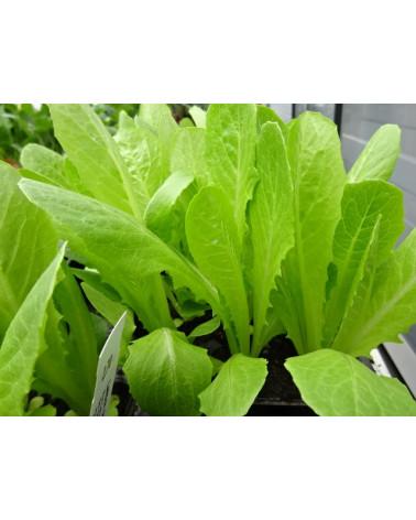 Lattich (Salat)
