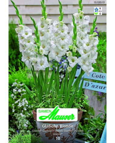 Glamini-Gladiolen