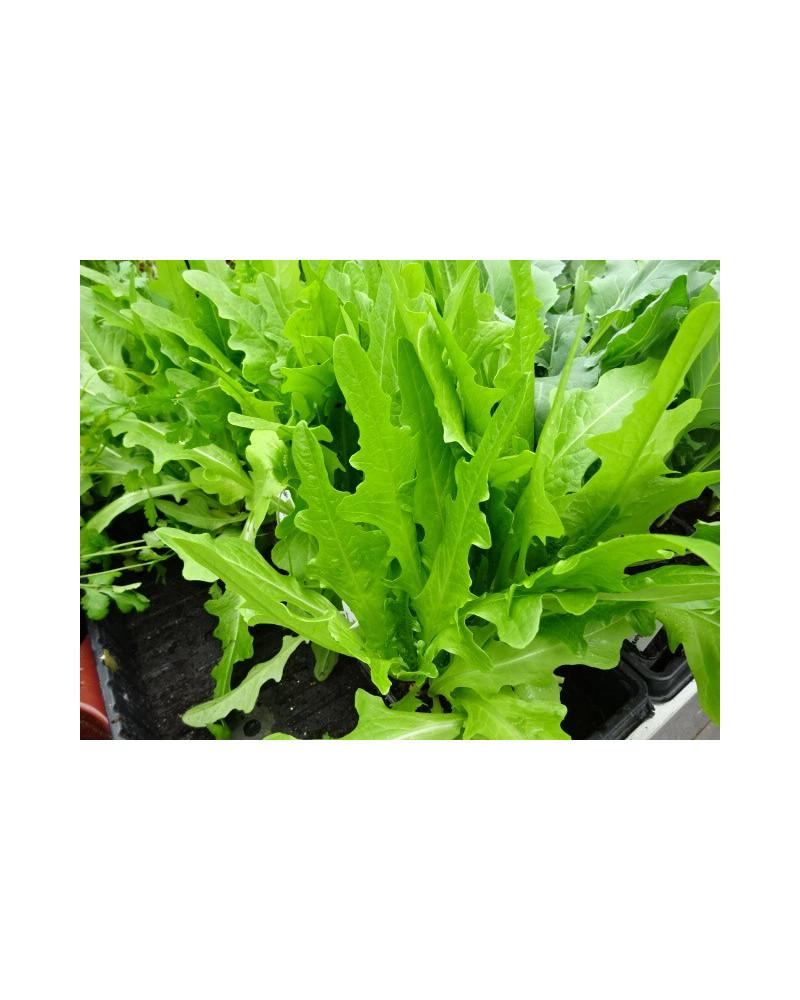 Blattsalat Lattughino verde, Jungpflanzen
