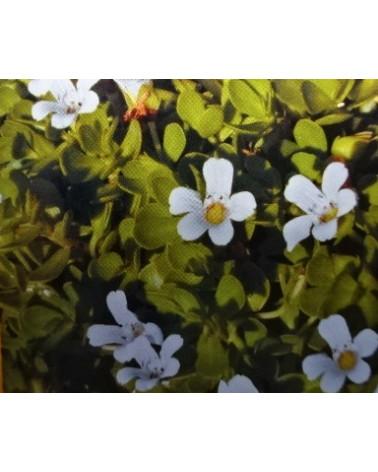 Brahmi-Gedächtnispflanze