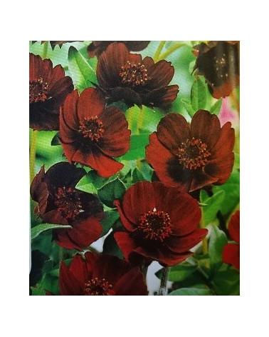 Schokoladen-Blume